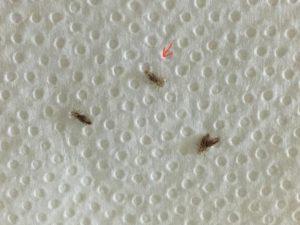 Observa con atención estos pequeños bichos por si un día los ves en la cabeza de tus hijos